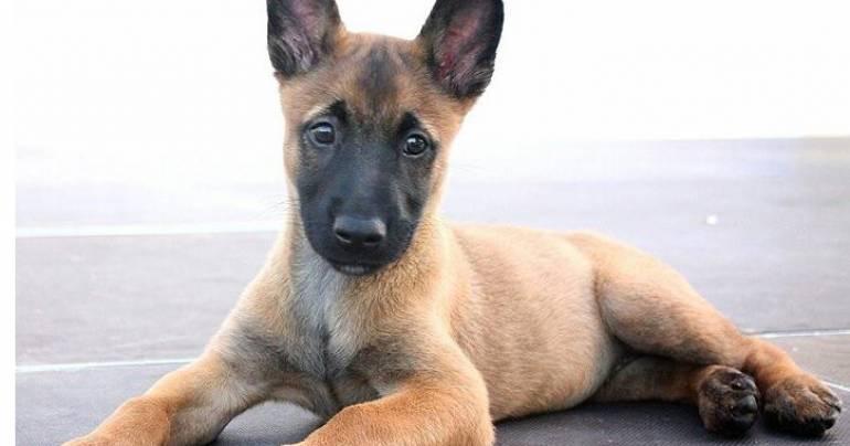 Cachorros y perros jóvenes